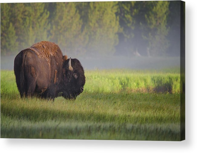 Bison Acrylic Print featuring the photograph Bison In Morning Light by Sandipan Biswas