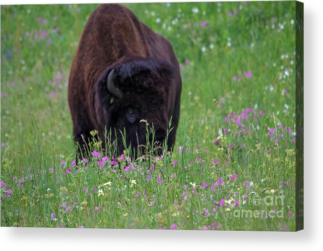 Bison Acrylic Print featuring the photograph Bison by Jeff Welton
