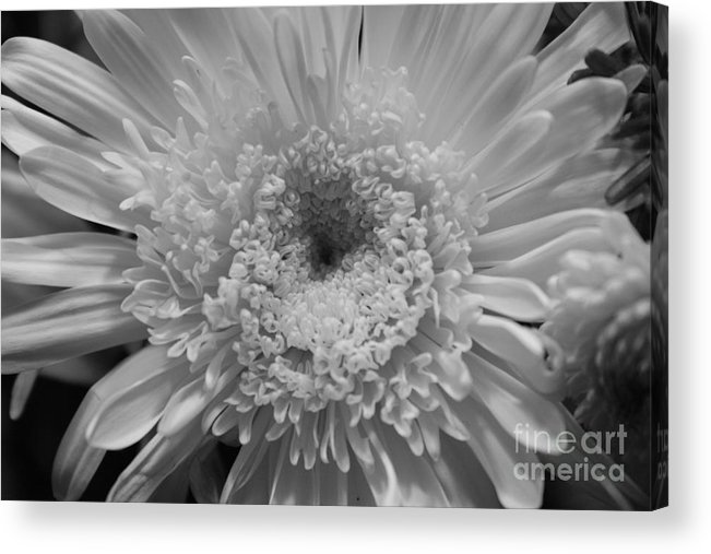 Chrysanthymum Acrylic Print featuring the photograph Black And White Chrysanthymum by Cheryl Hurtak