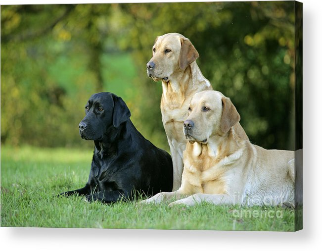 Dogs Acrylic Print featuring the photograph Black And Yellow Labrador Retrievers by John Daniels