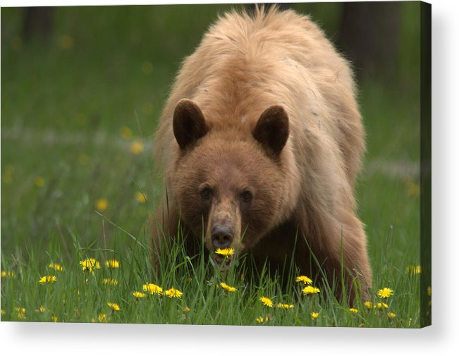 Bear Acrylic Print featuring the photograph Black Bear by Frank Madia