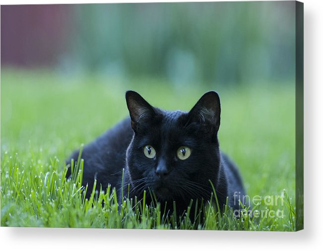 Animal Acrylic Print featuring the photograph Black Cat by Juli Scalzi