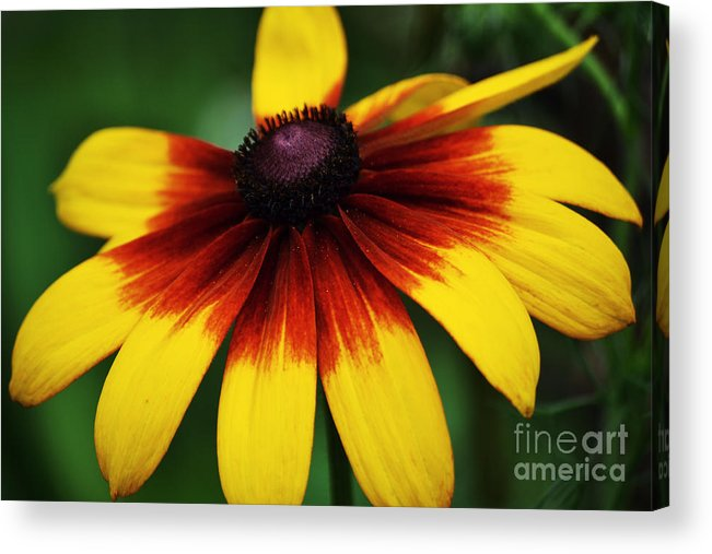 Black Eye Acrylic Print featuring the photograph Black Eyed Susan 2 by Kevin Fortier