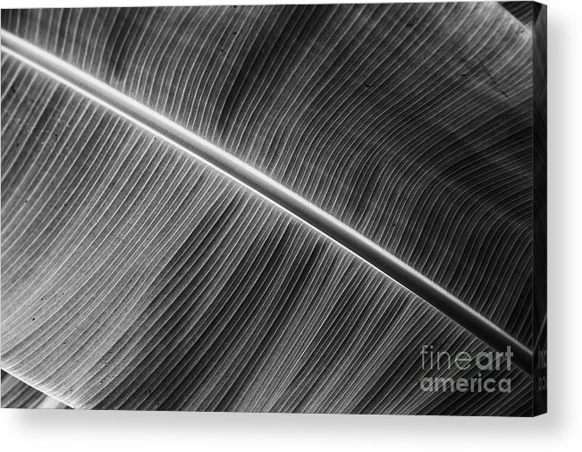 Plants Leaves Asian Viet Nam Black And White Acrylic Print featuring the photograph Black Lines by Rick Bragan