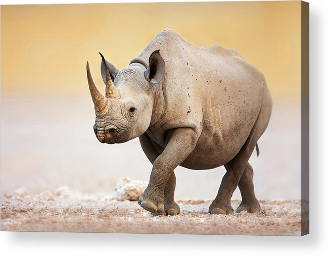 Square-lipped Acrylic Print featuring the photograph Black Rhinoceros by Johan Swanepoel