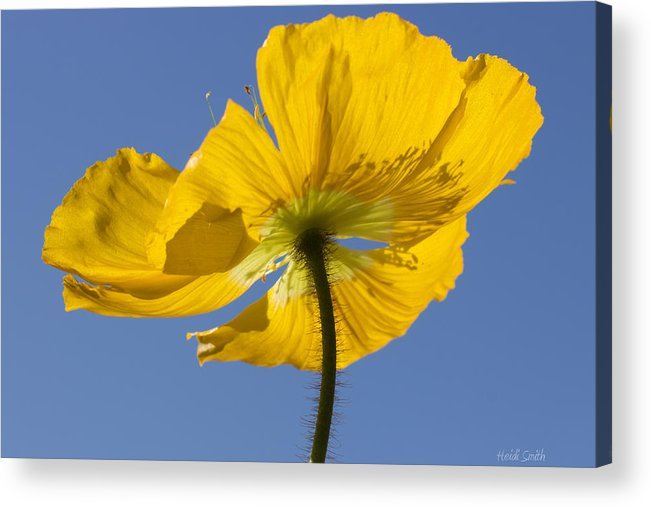 Background Acrylic Print featuring the photograph Bloom Time by Heidi Smith