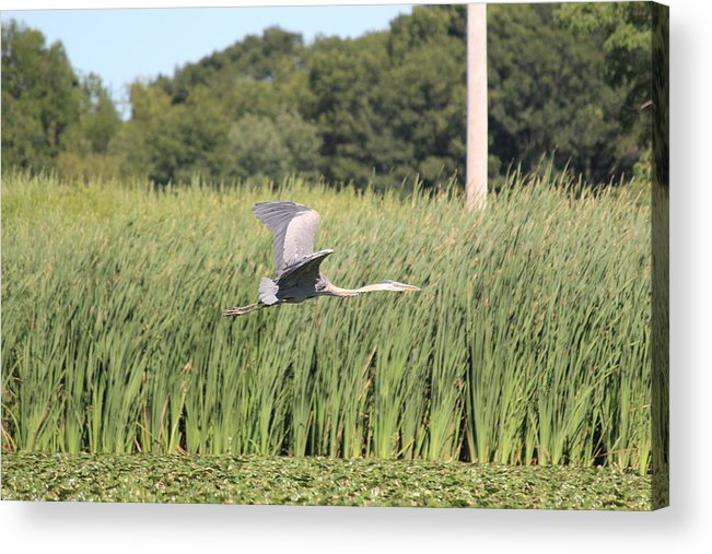 Blue Heron Acrylic Print featuring the photograph Blue Flight by Jennifer Gillis