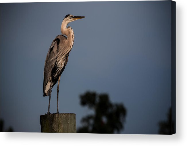 Acrylic Print featuring the photograph Blue Heron by Ron Maxie
