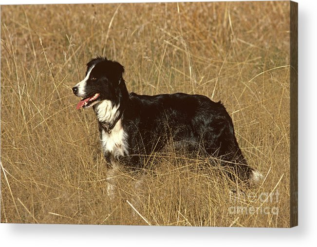 Border Collie Acrylic Print featuring the photograph Border Collie by Jean-Paul Ferrero