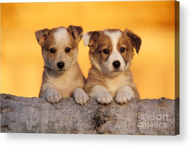 Dog Acrylic Print featuring the photograph Border Collie Puppies by Rolf Kopfle