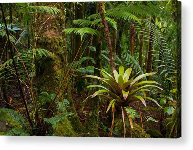 Boquete Acrylic Print featuring the photograph Bromeliads Of The Clouds by JP Lawrence