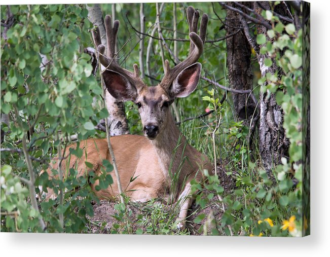Mule Deer Acrylic Print featuring the photograph Buck by Jeff Welton
