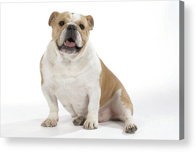 Bulldog Acrylic Print featuring the photograph Bulldog, Female by John Daniels