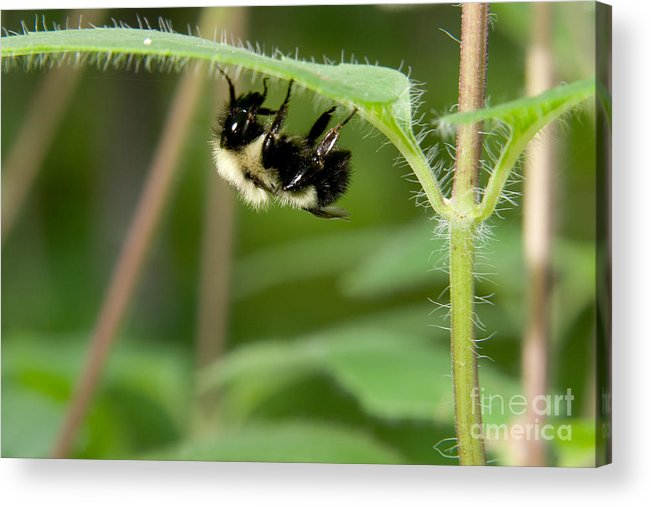 Insect Acrylic Print featuring the photograph Bumble Bee by Gregory K Scott