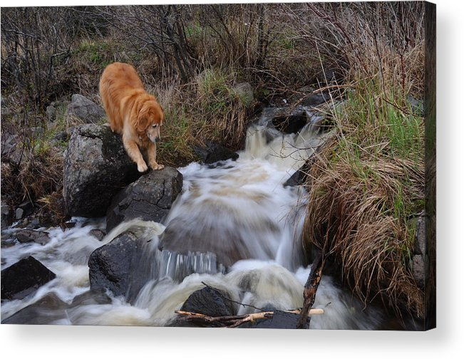 Golden Retriever Dog  Creek Flowing Into Lake Superior Toby Acrylic Print featuring the photograph But Mom I Might Get My Feet Wet by Sandra Updyke