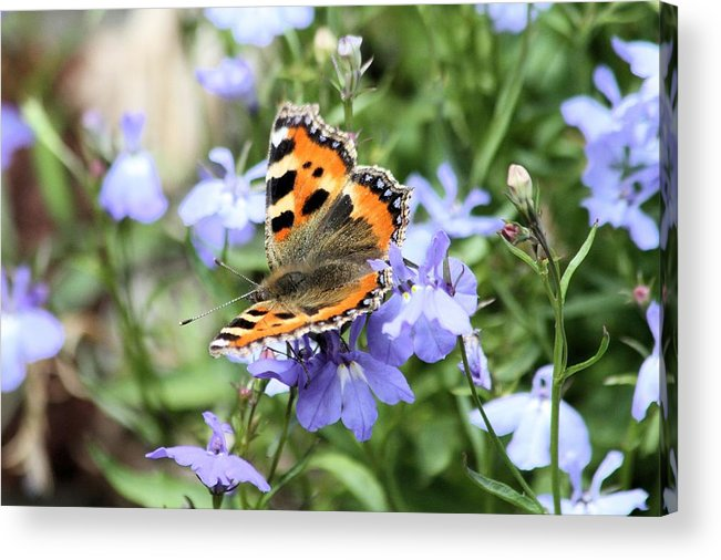 Butterfly Acrylic Print featuring the photograph Butterfly On Blue Flower by Gordon Auld