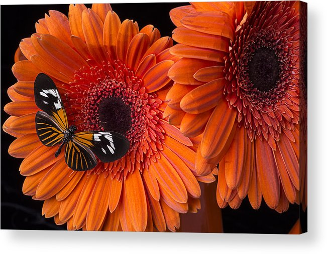 Butterfly Acrylic Print featuring the photograph Butterfly On Orange Mums by Garry Gay