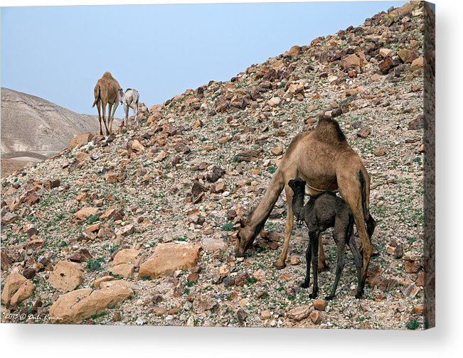 Camels Acrylic Print featuring the photograph Camels At The Israel Desert -1 by Dubi Roman