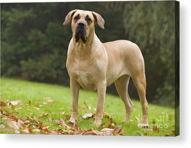 Canary Dog Acrylic Print featuring the photograph Canary Dog by Jean-Michel Labat