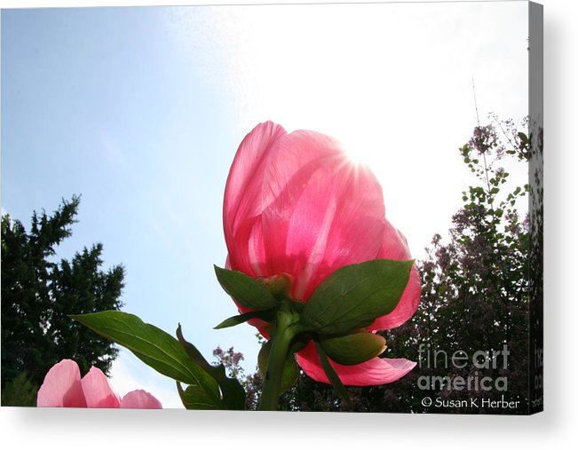 Flower Acrylic Print featuring the photograph Captured Sunlight by Susan Herber