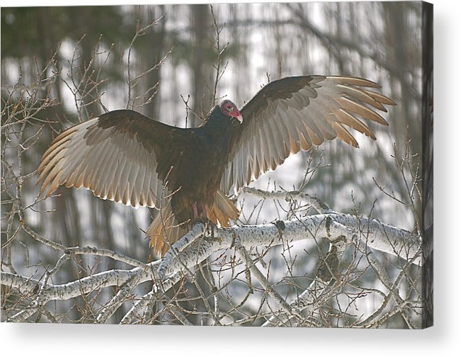 Turkey Vulture Acrylic Print featuring the photograph Catching Some Rays by Sandra Updyke