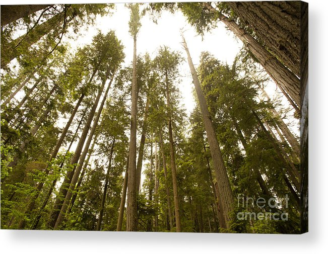 Provincial Park Bc Acrylic Print featuring the photograph Cathedral Forest by Artist and Photographer Laura Wrede