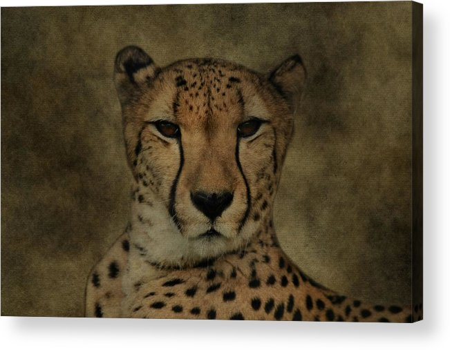 Cheetah Portrait Acrylic Print featuring the photograph Cheetah Face by Dan Sproul