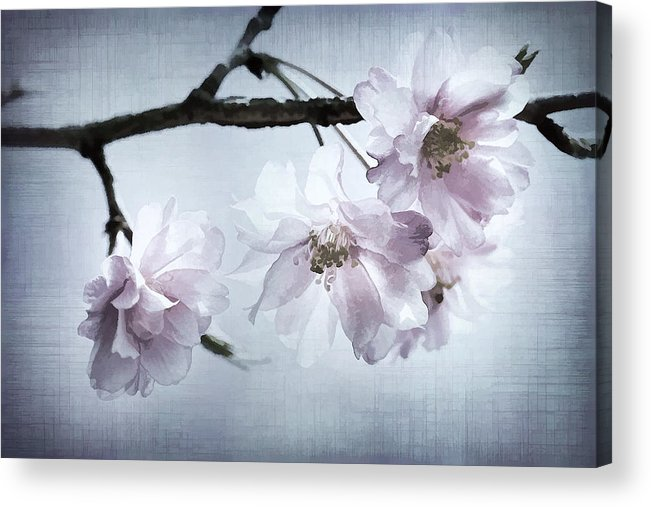 Cherry Acrylic Print featuring the photograph Cherry Blossom Sweetness by Kathy Clark