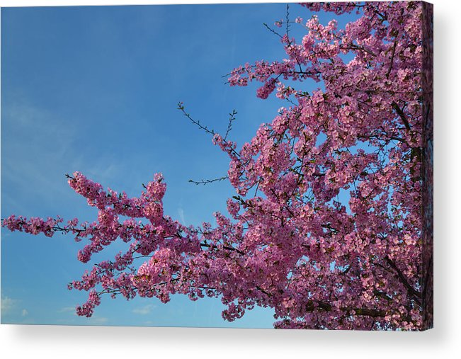 Architectural Acrylic Print featuring the photograph Cherry Blossoms 2013 - 037 by Metro DC Photography