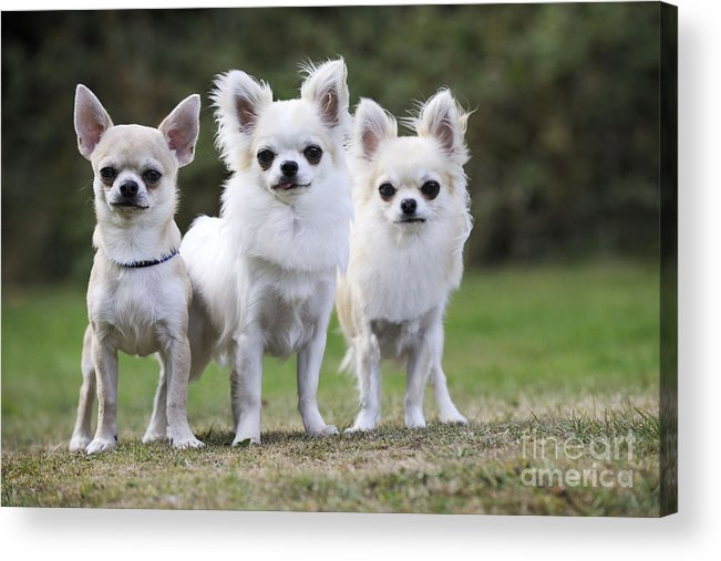Chihuahua Acrylic Print featuring the photograph Chihuahua Dogs by John Daniels