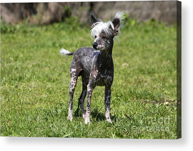 Chinese Crested Acrylic Print featuring the photograph Chinese Crested Dog by M. Watson