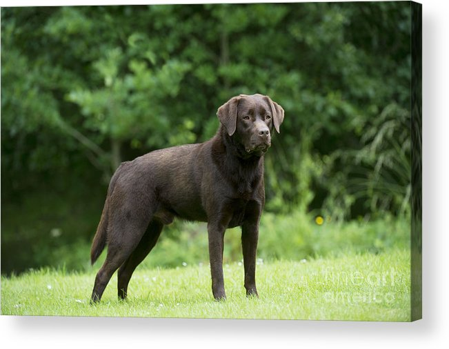 Labrador Retriever Acrylic Print featuring the photograph Chocolate Labrador by John Daniels