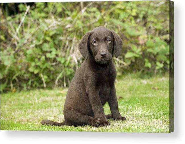 Labrador Retriever Acrylic Print featuring the photograph Chocolate Labrador Puppy by John Daniels