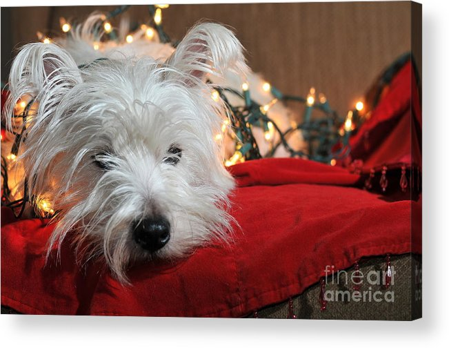 West Highland Terrier Acrylic Print featuring the photograph Christmas Westie by Catherine Reusch Daley