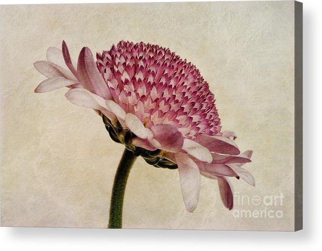 Chrysanthemum Canvas Acrylic Print featuring the photograph Chrysanthemum Domino Pink by John Edwards