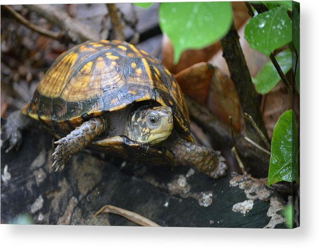 Charlie Day Acrylic Print featuring the photograph Climbing Turtle by Charlie Day