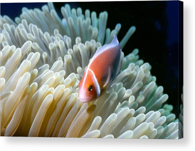 Micronesia Acrylic Print featuring the photograph Clownfish 9 by Dawn Eshelman