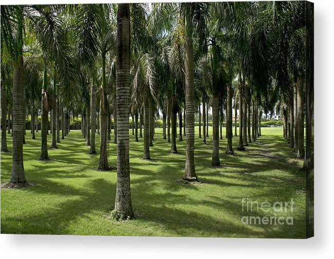 Abundance Acrylic Print featuring the photograph Coconuts Trees In A Row by Sami Sarkis
