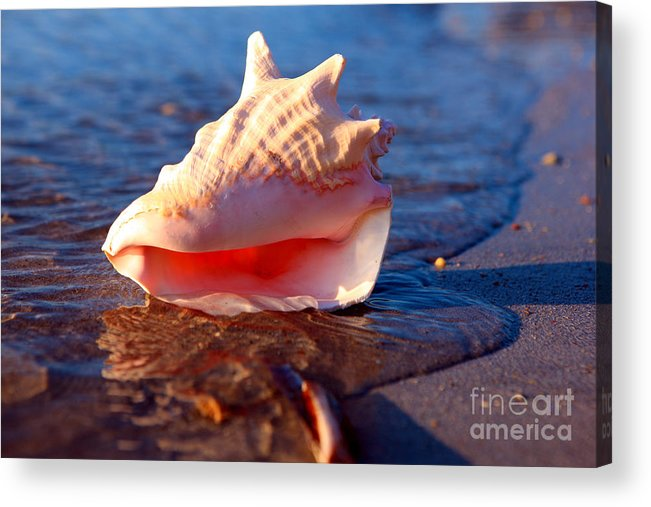 Shell Acrylic Print featuring the photograph Conch Shell by Lynne Sutherland