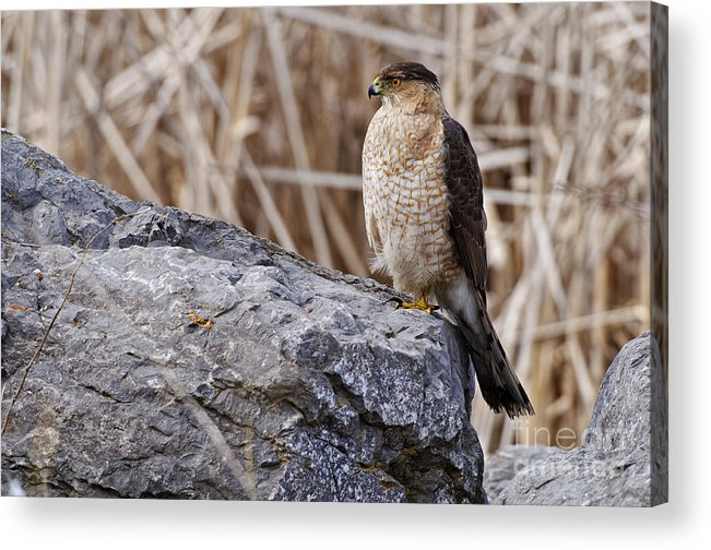 Cooper's Hawk Acrylic Print featuring the photograph Coopers Hawk Pictures 91 by World Wildlife Photography
