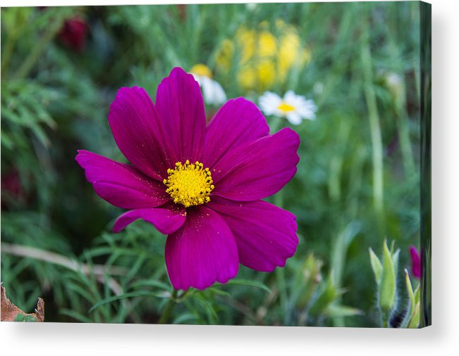 Cosmo Acrylic Print featuring the photograph Cosmo by Michele Wright