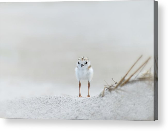 Piping Plover Acrylic Print featuring the photograph Cotton Ball With Legs by Don Schroder