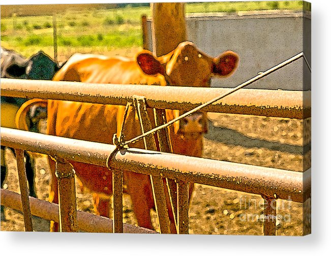 Cow Art Photographs Acrylic Print featuring the photograph Cows Coming Home by Artist and Photographer Laura Wrede