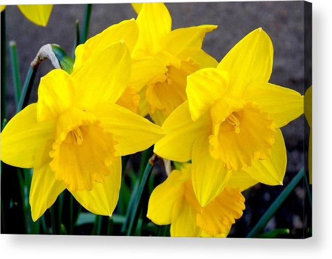 Colorado Acrylic Print featuring the photograph Daffodils by Marilyn Burton
