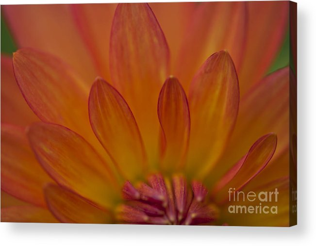Heiko Acrylic Print featuring the photograph Dahlia Closeup by Heiko Koehrer-Wagner