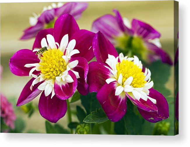 Dahlia Dahlietta Surprise Becky Acrylic Print featuring the photograph Dahlia Dahlietta 'surprise Becky' by Science Photo Library