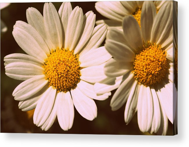 Flower Acrylic Print featuring the photograph Daisies by Chevy Fleet