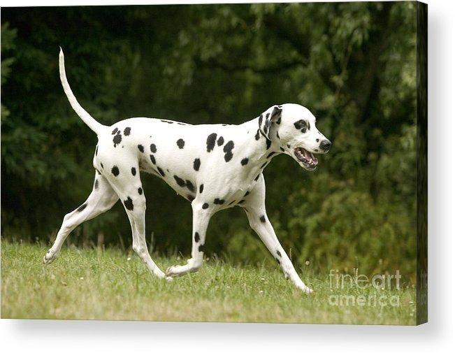 Dalmatian Acrylic Print featuring the photograph Dalmatian Running by Jean-Michel Labat