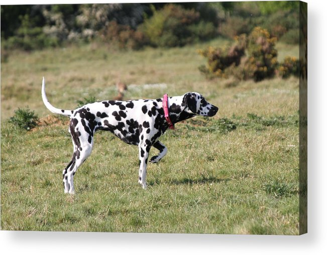 Dalmatian Pretending To Be A Pointer Acrylic Print featuring the photograph Dalmation Pretending To Be A Pointer by Gordon Auld