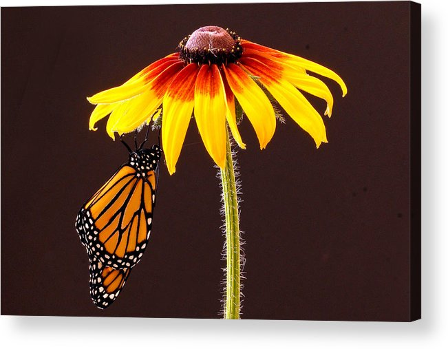 Animals Acrylic Print featuring the photograph Dangling Monarch by Jean Noren
